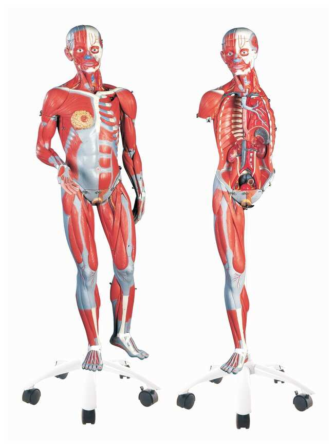 3b Scientific Muscular Anatomy Model 45 Part Master Series