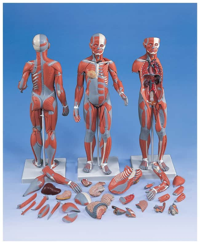 3b Scientific Muscular Models 33 And 20 Part