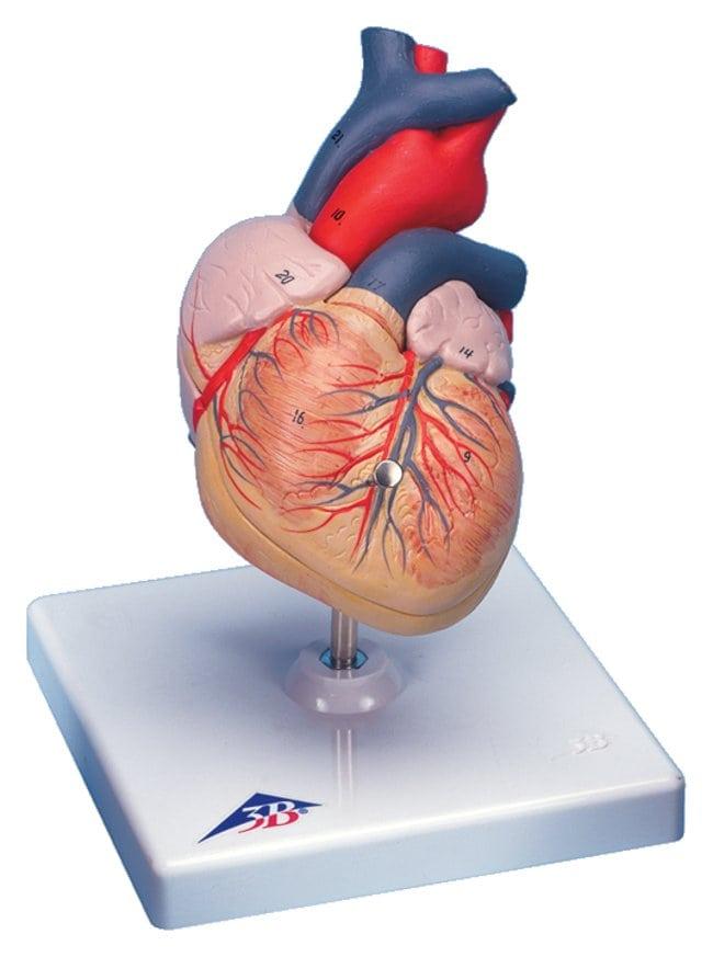 3b Scientific Heart Model 34 Full Sized Two Part 2 Part 76 X
