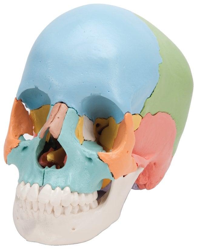 3B Scientific&trade;&nbsp;Beauchene 22-Part Adult Human Skull Model&nbsp;<img src=