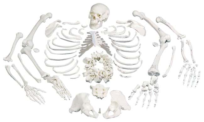 3B Scientific Disarticulated Human Skeleton - includes 3B Smart Anatomy