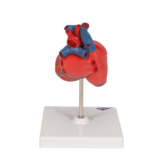 3B Scientific™ Heart Model, 3/4 Full-Sized, Two-Part - includes 3B Smart Anatomy 2-part; 7.6 x 4.8 x 4.8 in. Human Anatomy