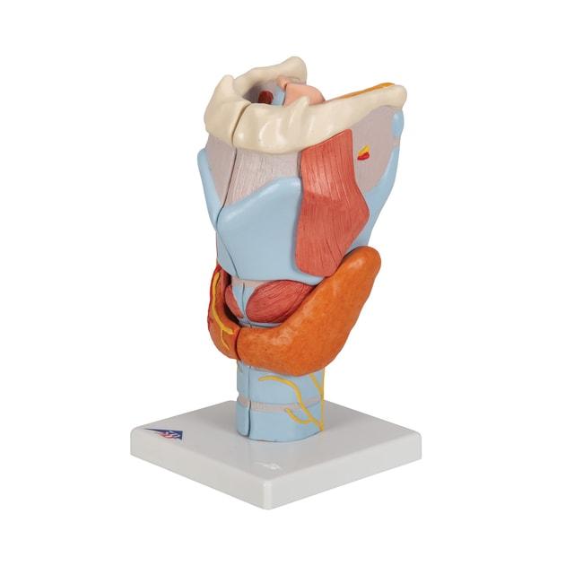 3B Scientific Larynx Model - includes 3B Smart Anatomy  Larynx Model; 12