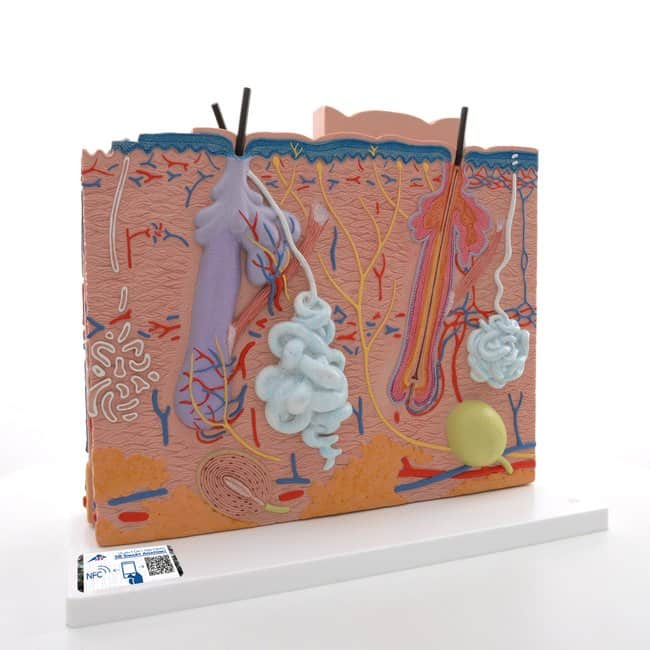 3B Scientific™Skin Model - includes 3B Smart Anatomy<img src=