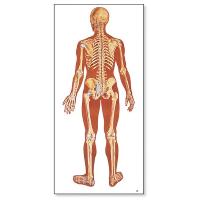 3B Scientific Human Skeleton Poster, Rear  Human Skeleton Poster, Rear:Teaching