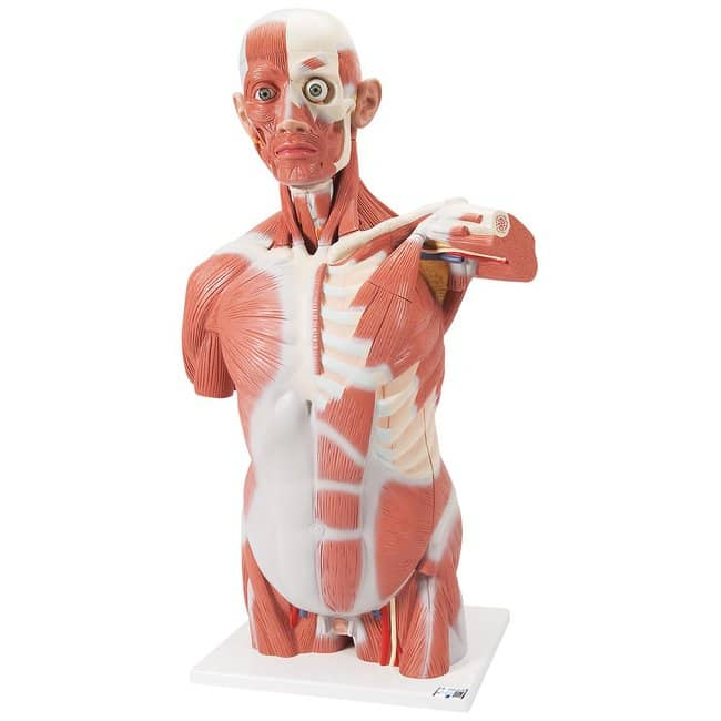 3B Scientific Muscle Torso with Head - includes 3B Smart Anatomy  27-part;