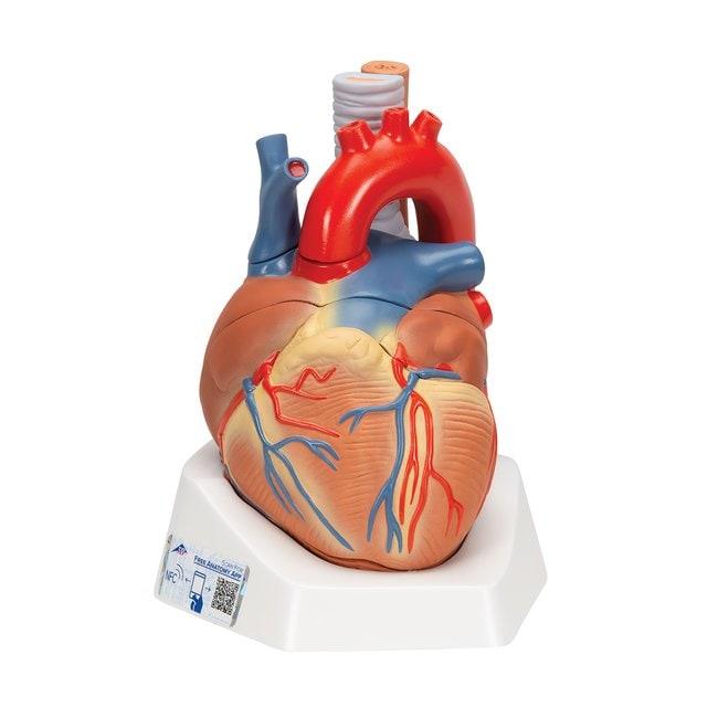 3B Scientific™Heart, Full-Size, 7-Part - includes 3B Smart Anatomy<img src=