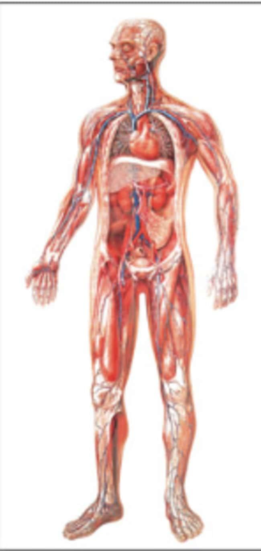 3b Scientific Vascular System Poster Vascular System Posterteaching
