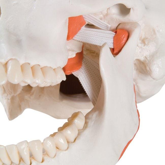 3B Scientific TMJ Human Skull Model, 2 Part - includes 3B Smart Anatomy
