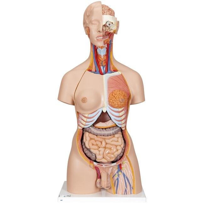 3B Scientific Deluxe Human Torsos - includes 3B Smart Anatomy  28-part