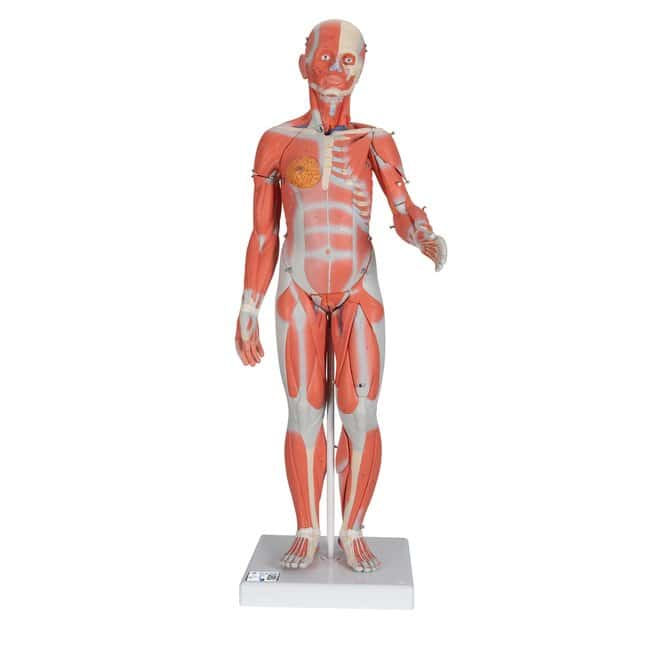 3B Scientific Muscular Models, 33- and 20-Part - includes 3B Smart Anatomy