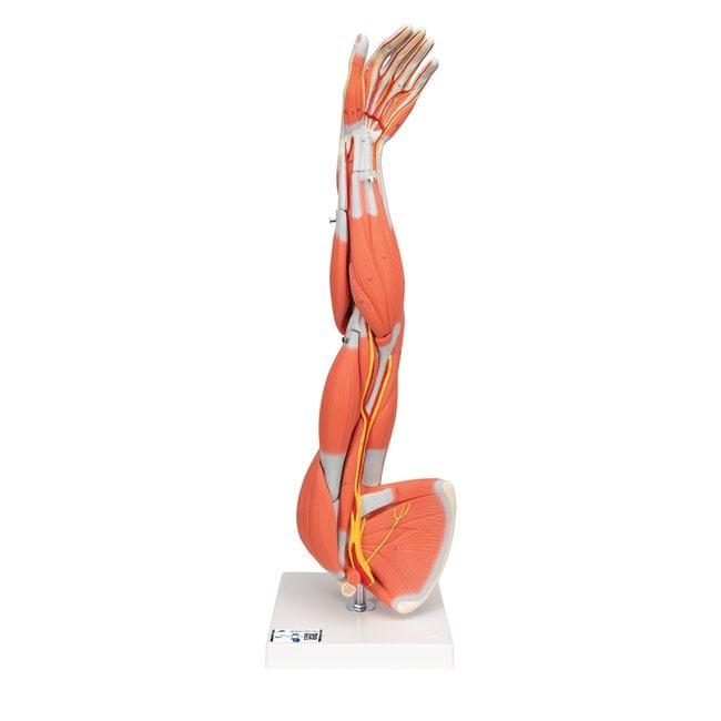 3B Scientific Muscular Arm - includes 3B Smart Anatomy  6-part; Height: