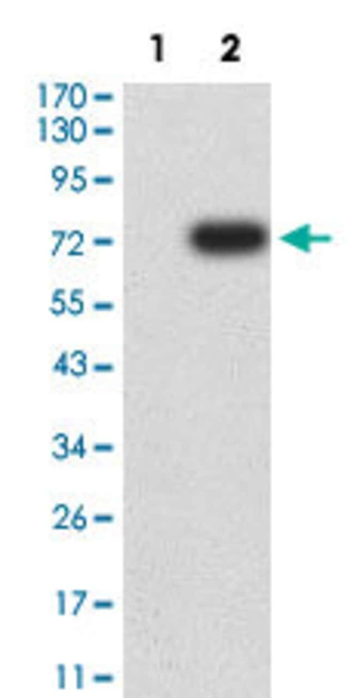 DDR1 Mouse anti-Human, Clone:4F2C12, Abnova 100µg