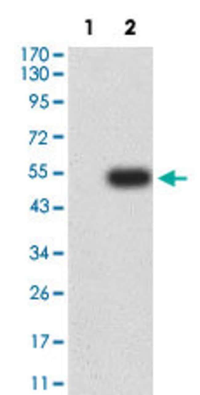 ICAM2 Mouse anti-Human, Clone:7A6E11, Abnova 100µg