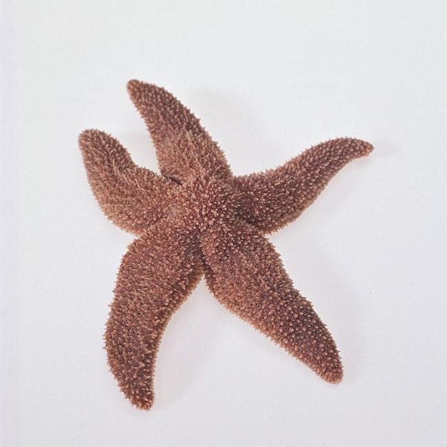 Carolina Formalin Starfish :Teaching Supplies:Biology Classroom