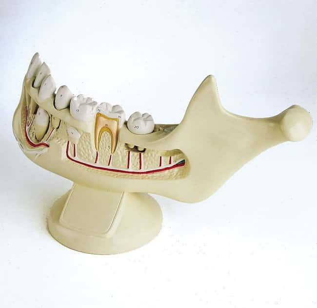 Giant Hands On Childs Jaw  Giant hands-on childs jaw model:Teaching Supplies