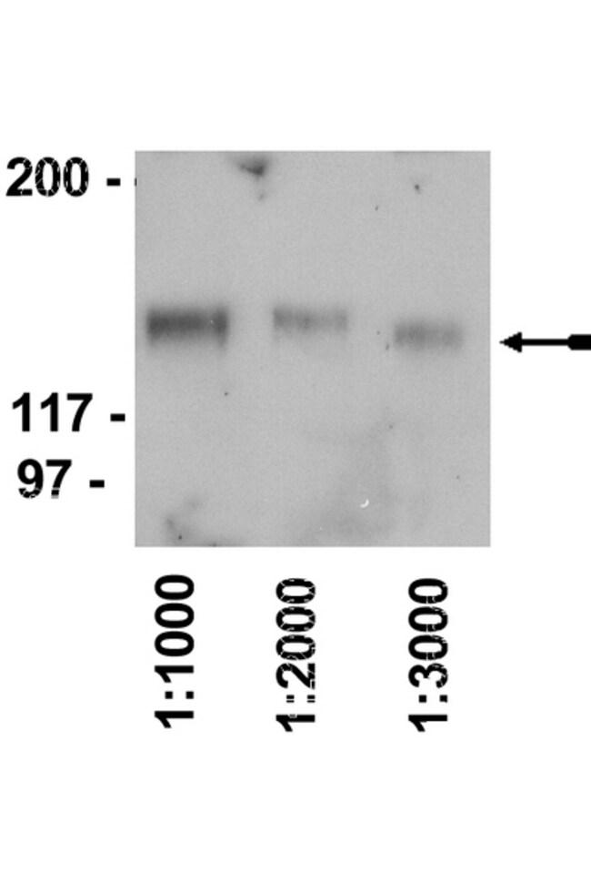 IgY Rabbit anti-Chicken, HRP, Polyclonal, Secondary Antibody, MilliporeSigma