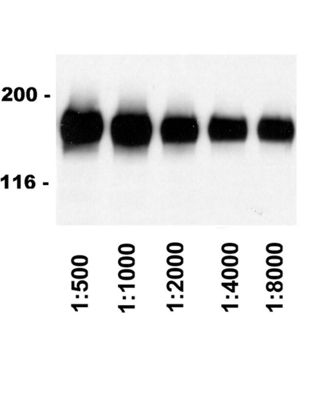 IgG Rabbit anti-Sheep, HRP, Polyclonal, Secondary Antibody, MilliporeSigma