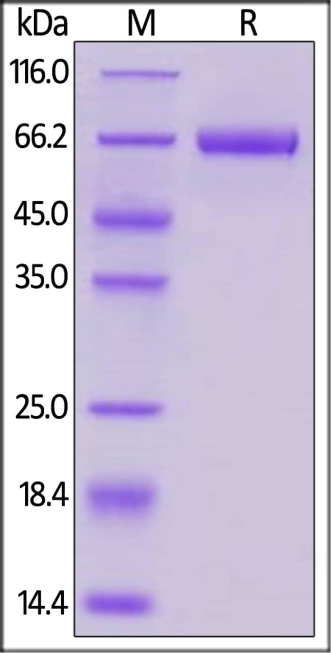ACROBiosystems25ug Biotinylated Human B7-H3 / CD276 Protein, Fc,Avitag  Produkte
