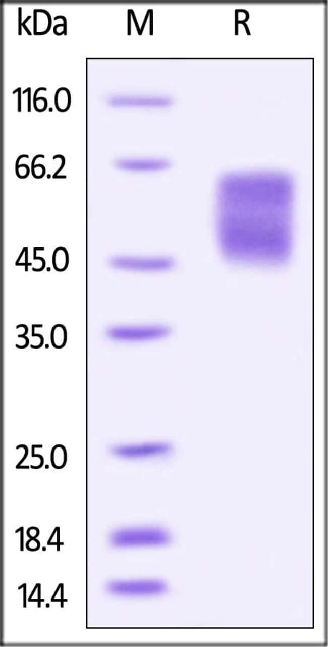 ACROBiosystemsBiotinylated Human B7-H4 Protein, Avitag™,His Tag 25 ug ACROBiosystemsBiotinylated Human B7-H4 Protein, Avitag™,His Tag
