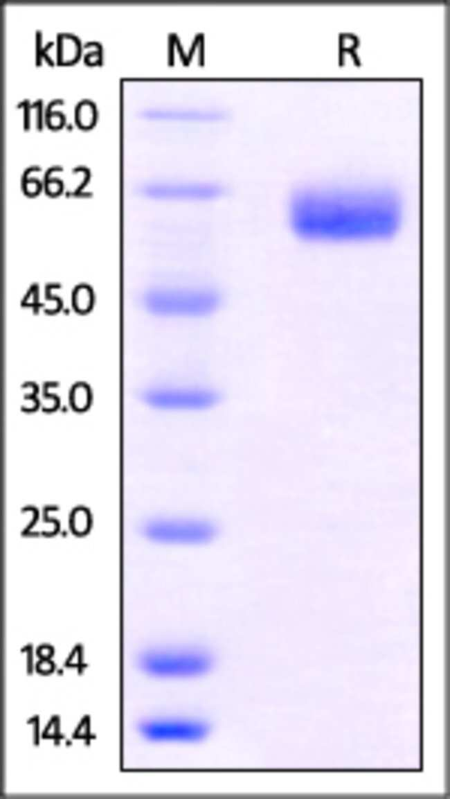 ACROBiosystemsHuman B7-H5 / Gi24 / VISTA Protein, Fc Tag 1 mg ACROBiosystemsHuman B7-H5 / Gi24 / VISTA Protein, Fc Tag