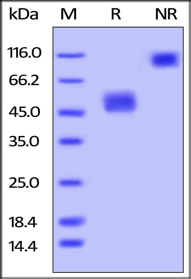 ACROBiosystems25UG Biotinylated Mouse BAFFR /TNFRSF13C Protein,Fc Tag, Avi Tag (Avitag)  Produkte