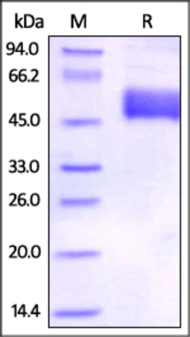 ACROBiosystemsHuman BTLA (31-134) Protein, Fc Tag 100 ug ACROBiosystemsHuman BTLA (31-134) Protein, Fc Tag