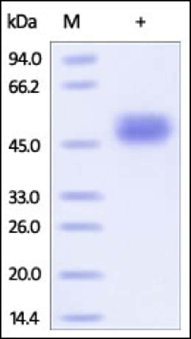 ACROBiosystemsHuman CD14 Protein, His Tag 100 ug ACROBiosystemsHuman CD14 Protein, His Tag