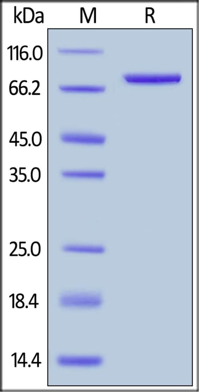 ACROBiosystemsHuman CD4 Protein, Fc Tag 1 mg ACROBiosystemsHuman CD4 Protein, Fc Tag