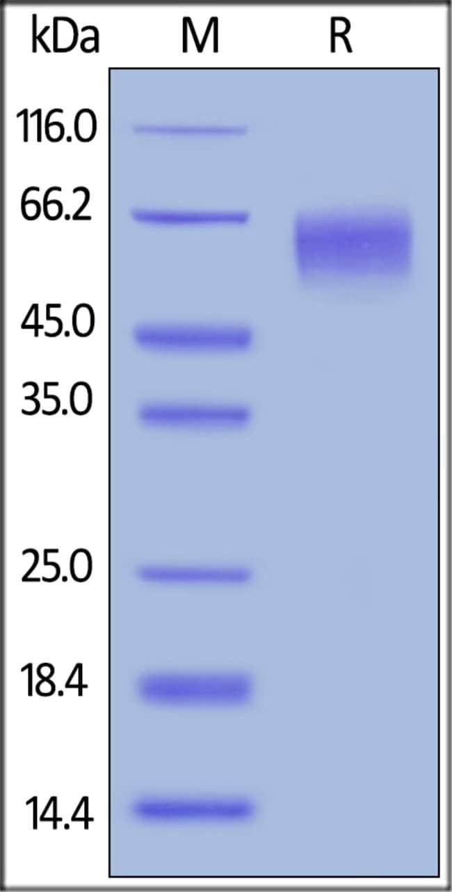 ACROBiosystemsBiotinylated Human CD155 / PVR Protein, His, Avitag™ 200 ug ACROBiosystemsBiotinylated Human CD155 / PVR Protein, His, Avitag™