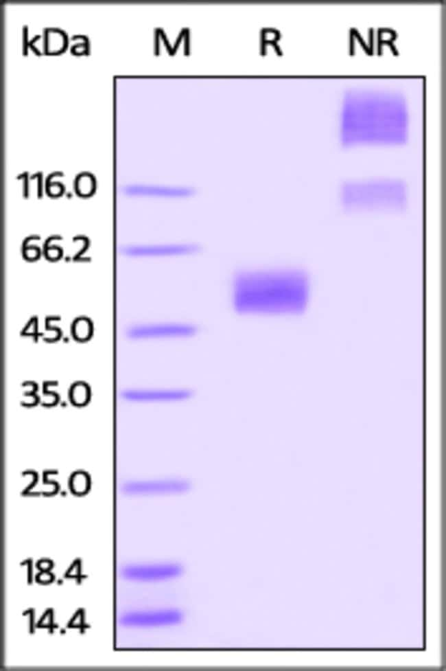 ACROBiosystemsRabbit CD47 Protein, Fc Tag 1 mg ACROBiosystemsRabbit CD47 Protein, Fc Tag