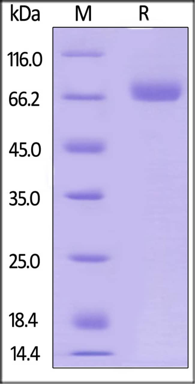 ACROBiosystemsHuman CD38 Protein, Fc Tag 50 ug ACROBiosystemsHuman CD38 Protein, Fc Tag