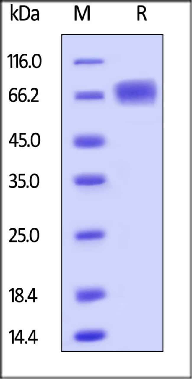 ACROBiosystemsHuman LILRB3 / CD85a / ILT5 Protein, His tag 1 mg ACROBiosystemsHuman LILRB3 / CD85a / ILT5 Protein, His tag