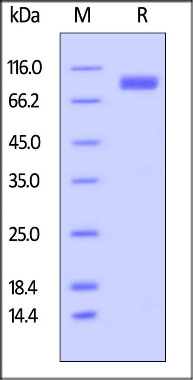 ACROBiosystemsBiotinylated Human SIRP alpha / CD172a Protein, Fc,Avitag™ 25 ug ACROBiosystemsBiotinylated Human SIRP alpha / CD172a Protein, Fc,Avitag™