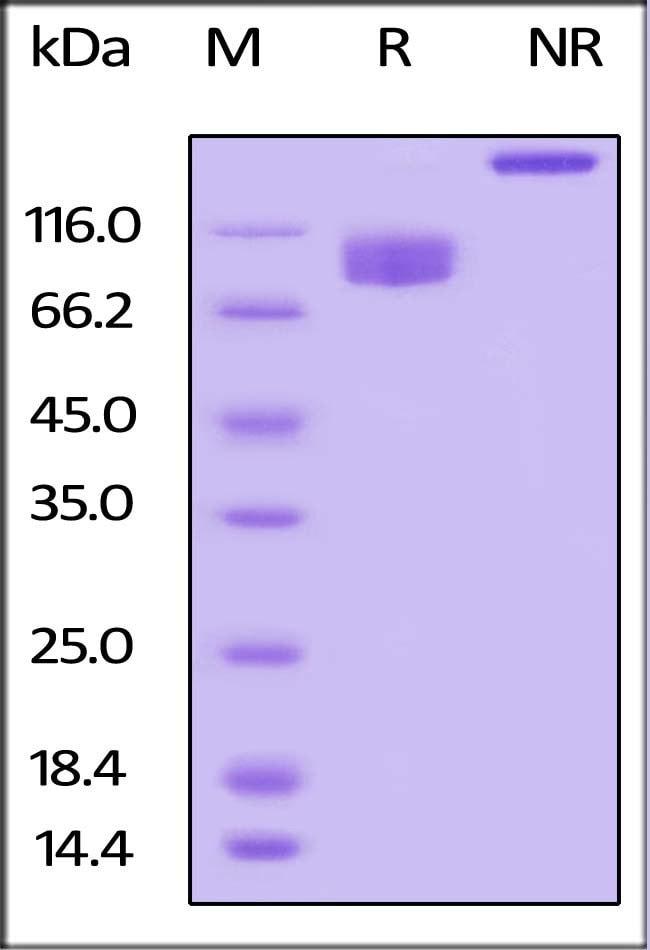 ACROBiosystemsBiotinylated Human LILRB3 / CD85a / ILT5 Protein, Fc, Avitag™ 200 ug ACROBiosystemsBiotinylated Human LILRB3 / CD85a / ILT5 Protein, Fc, Avitag™