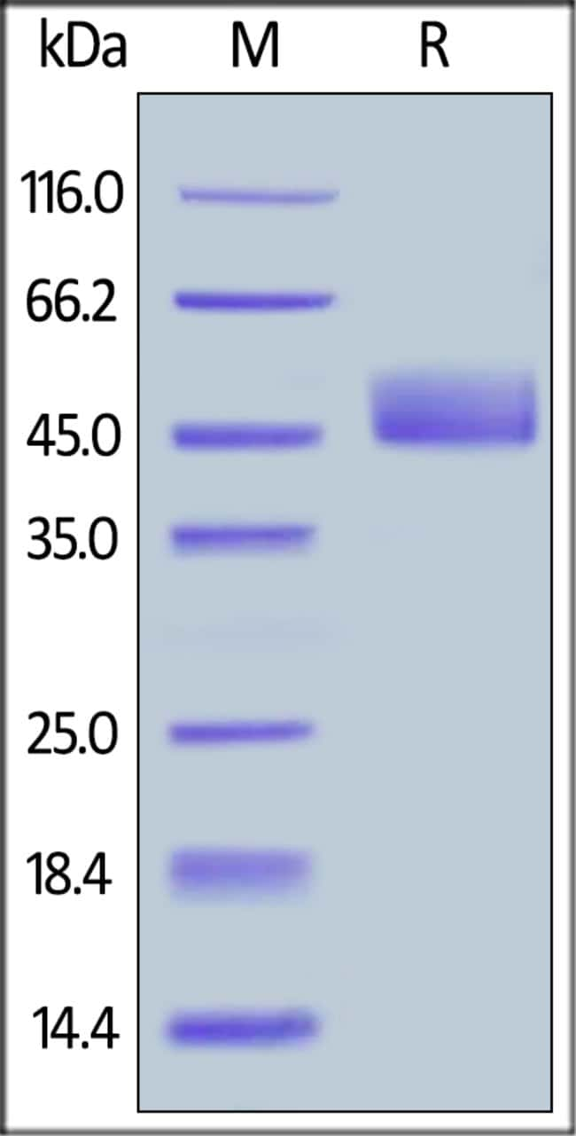 ACROBiosystemsBiotinylated Human CD3E&CD3D Heterodimer Protein, Fc,His Tag&Fc,Flag Tag, ultra sensitivity (primary amine labeling) 25 ug ACROBiosystemsBiotinylated Human CD3E&CD3D Heterodimer Protein, Fc,His Tag&Fc,Flag Tag, ultra sensitivity (primary amine labeling)