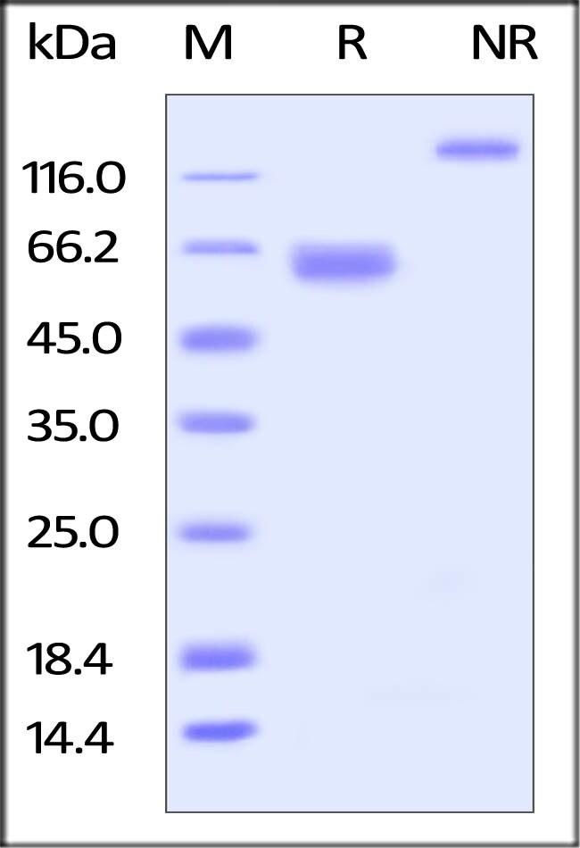 ACROBiosystems100UG Cynomolgus LILRB4 / CD85k / ILT3 Protein, Fc Tag  Produkte