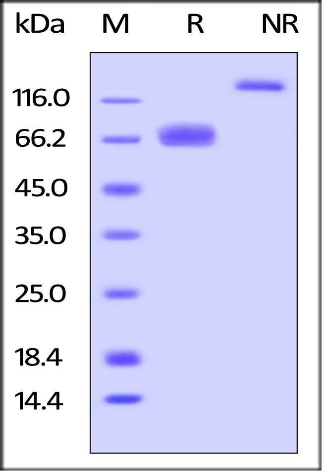 ACROBiosystemsMouse LILRB4 / CD85k / ILT3 Protein, Fc Tag 100 ug ACROBiosystemsMouse LILRB4 / CD85k / ILT3 Protein, Fc Tag
