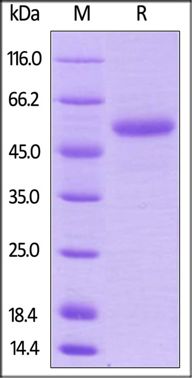 ACROBiosystemsBiotinylated Human CD40 Ligand / TNFSF5 Protein, Avitag™,Fc Tag 200 ug ACROBiosystemsBiotinylated Human CD40 Ligand / TNFSF5 Protein, Avitag™,Fc Tag