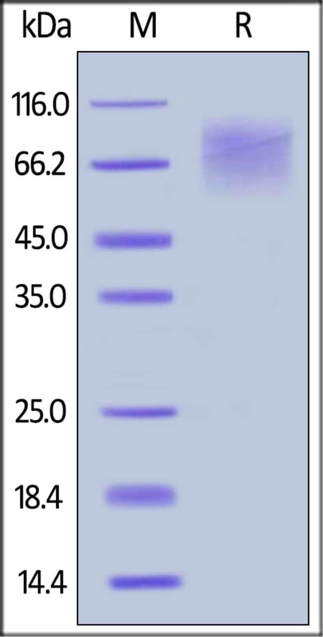 ACROBiosystemsHuman CEACAM-1 / CD66a Protein, His Tag 1 mg ACROBiosystemsHuman CEACAM-1 / CD66a Protein, His Tag