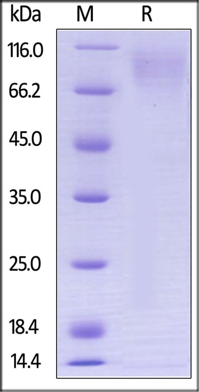 ACROBiosystemsBiotinylated Human CEACAM-1 / CD66a Protein, Avitag™,His Tag 200 ug ACROBiosystemsBiotinylated Human CEACAM-1 / CD66a Protein, Avitag™,His Tag