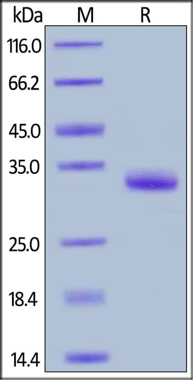 ACROBiosystemsBiotinylated Human IgG1 Fc protein, Avitag™ 25 ug ACROBiosystemsBiotinylated Human IgG1 Fc protein, Avitag™