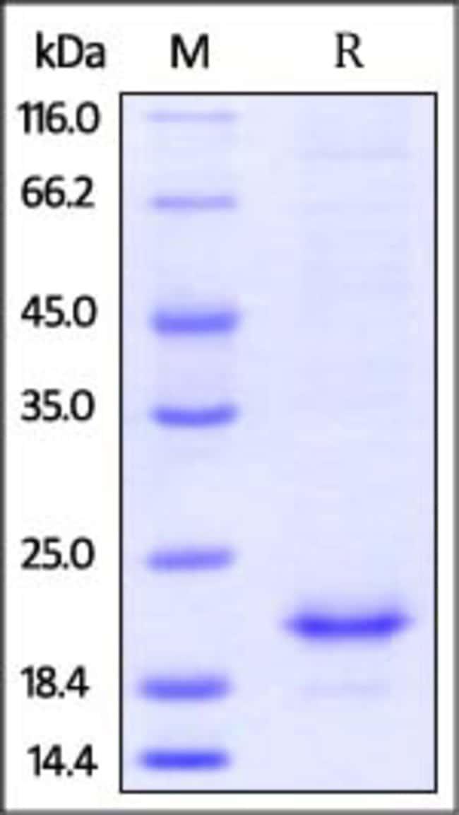 ACROBiosystemsMouse IL-10 Protein, His Tag 20 ug ACROBiosystemsMouse IL-10 Protein, His Tag