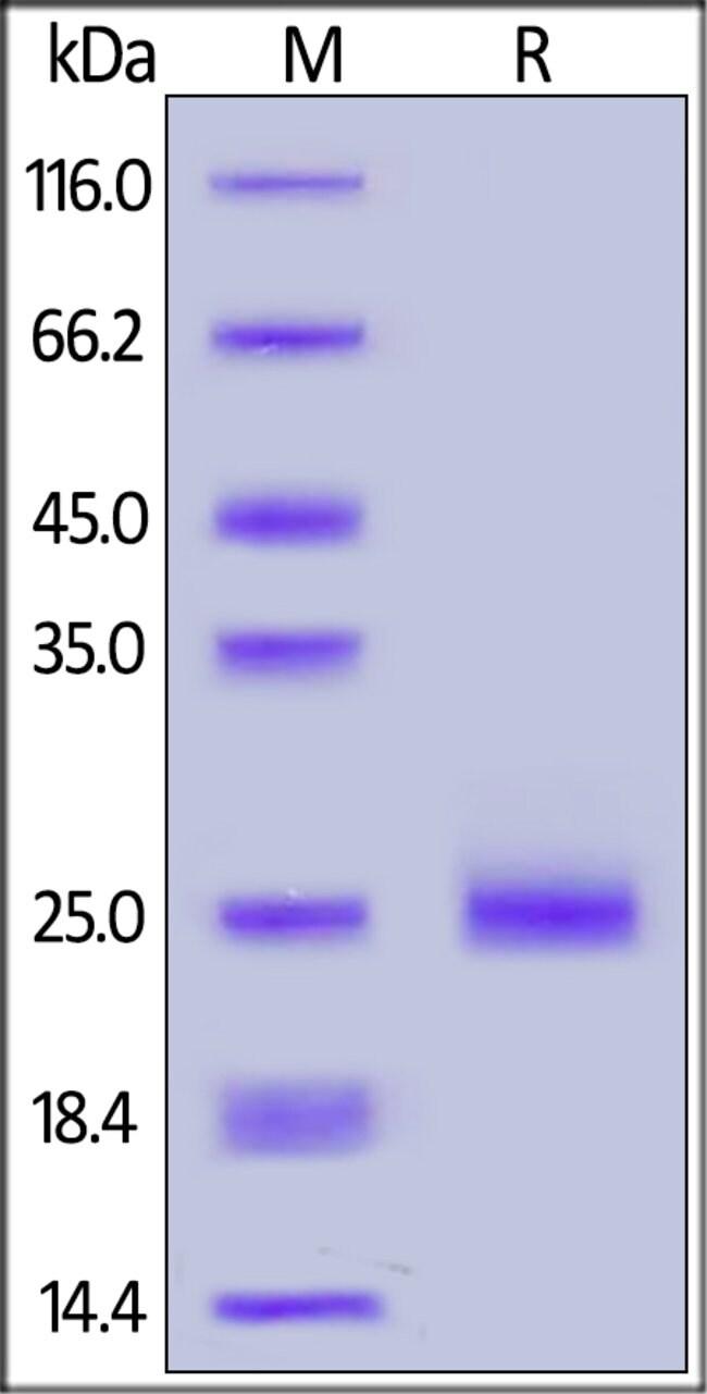 ACROBiosystemsHuman IL-17C Protein, His Tag 100 ug ACROBiosystemsHuman IL-17C Protein, His Tag