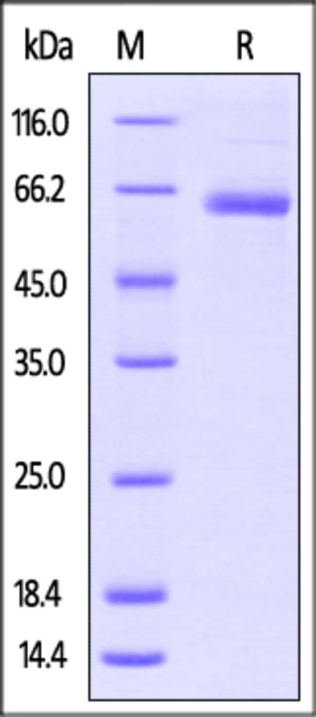 ACROBiosystemsHuman LAG-3 / CD223 Protein, His Tag, low endotoxin 1 mg ACROBiosystemsHuman LAG-3 / CD223 Protein, His Tag, low endotoxin