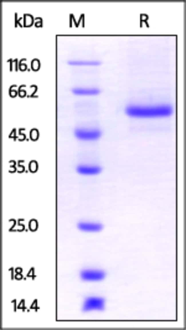 ACROBiosystemsRat LAG3 / CD223 Protein, His Tag 1 mg ACROBiosystemsRat LAG3 / CD223 Protein, His Tag