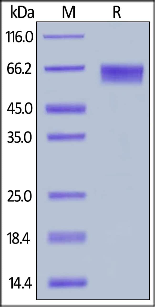 ACROBiosystemsHuman LILRB2 / CD85d / ILT4 Protein, His Tag 1 mg ACROBiosystemsHuman LILRB2 / CD85d / ILT4 Protein, His Tag