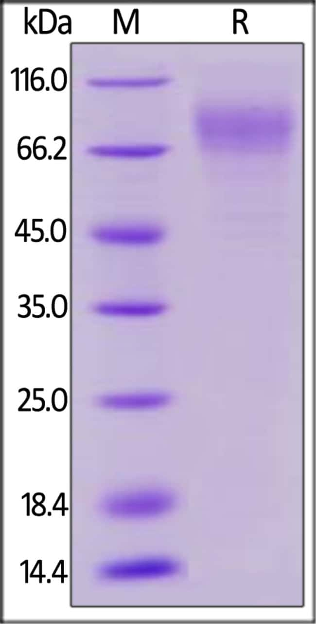 ACROBiosystems Biotinylated Human LILRA2 / CD85h / ILT1 Protein, His, Avitag™ 25 ug ACROBiosystems Biotinylated Human LILRA2 / CD85h / ILT1 Protein, His, Avitag™