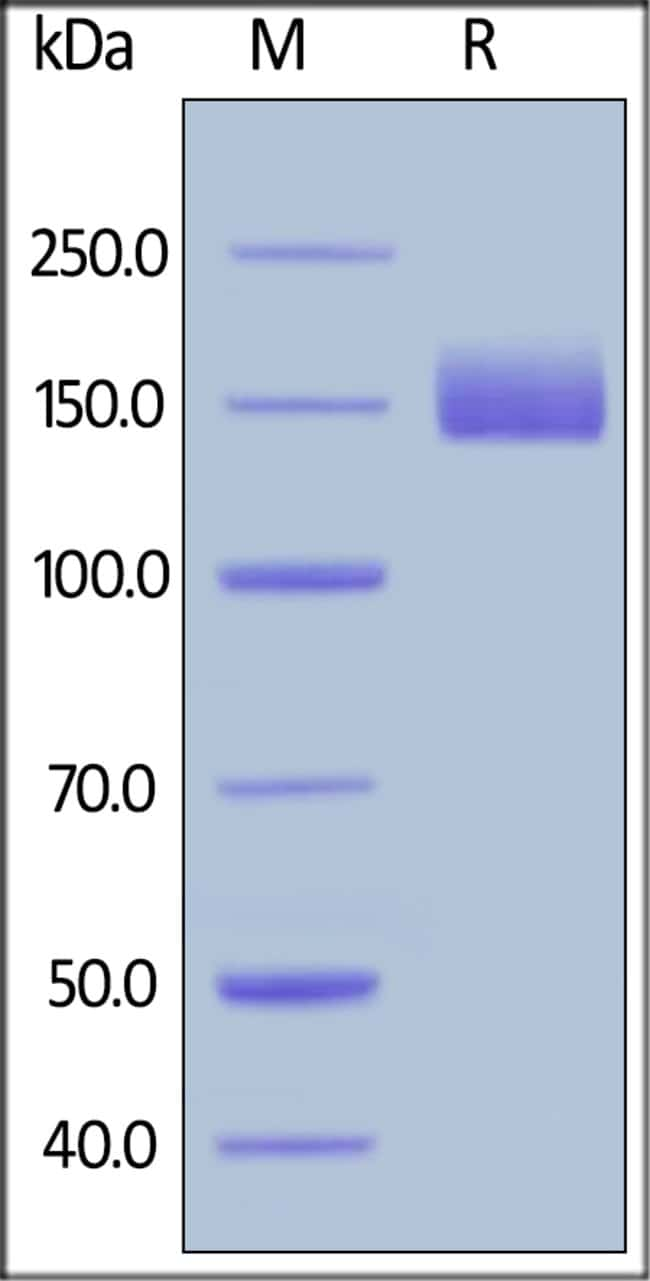 ACROBiosystemsHuman LIF R / CD118 Protein, Fc Tag 50 ug ACROBiosystemsHuman LIF R / CD118 Protein, Fc Tag