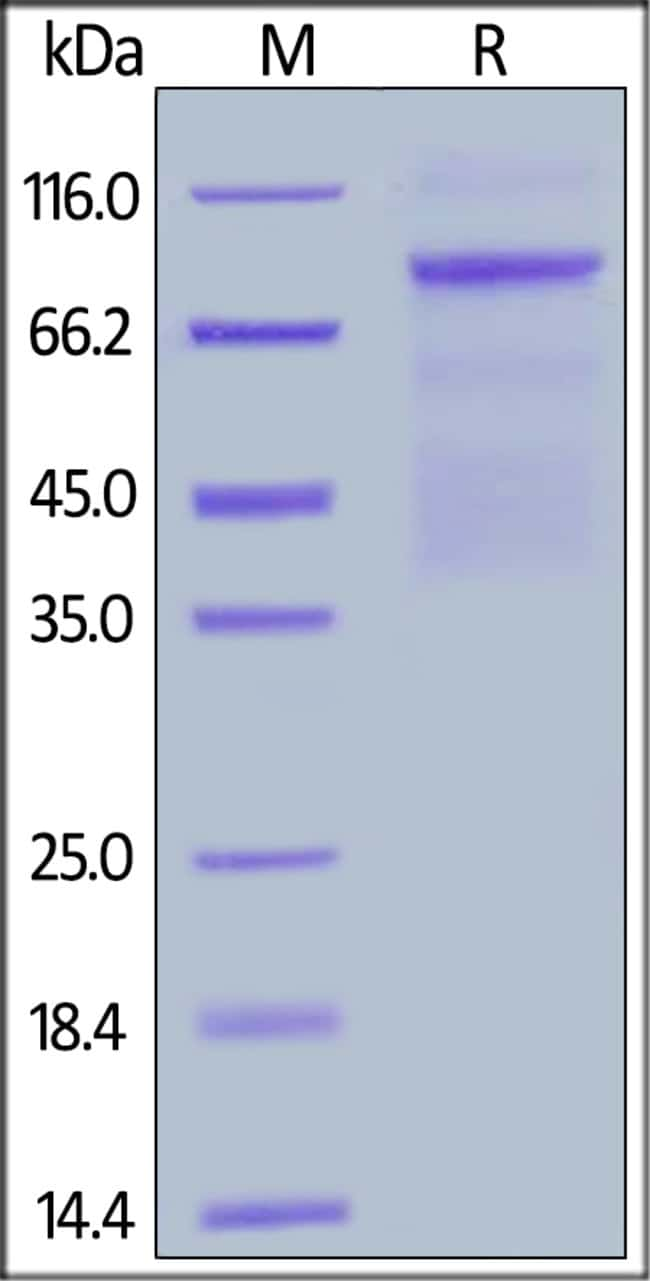 ACROBiosystemsBiotinylated Human HGF R / c-MET Protein, Avitag™,His Tag 200 ug ACROBiosystemsBiotinylated Human HGF R / c-MET Protein, Avitag™,His Tag